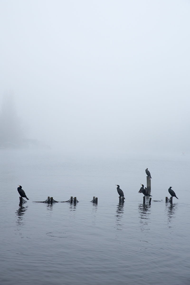 Cormorants in Mist