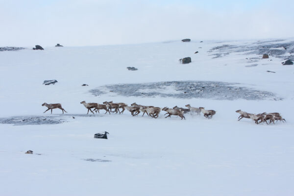 Wild Reindeer